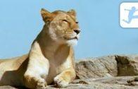 Der-Knig-Afrikas-Lwen-Tierdokumentation-fr-Kinder-Tierfilm-deutsch-ganzer-Film-Tierdoku-1