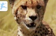 Die-Gepardenfamilie-Tierdokumentation-Tierfilm-kostenlos-ansehen-komplett-auf-Deutsch-1