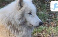 Wlfe-Tierdokumentation-Deutsch-Doku-fr-Schler-Doku-fr-Kinder-Lehrfilm-1