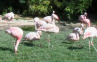 Faszination-Flamingos-Ganze-Tierdoku-deutsch-kostenlose-Dokumentation-Lehrfilm-1