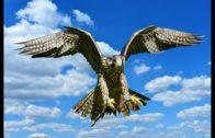 Die-Welt-der-Falken-Tierfilm-Schulfilm-fr-Kinder-Lehrfilm-Naturdoku-Naturfilm-Doku-1